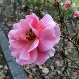 Wet Rose royalty free stock image
