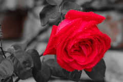 A wet rose after the rain Stock Photography