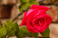A wet rose after the rain Royalty Free Stock Photography