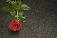 Wet Rose Series. Wet Rose Ad series, left side royalty free stock photos