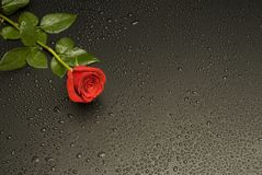 Wet Rose Series Stock Image