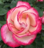 wet Rose white magenta Stock Photo