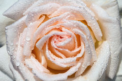 Wet rose. White wet rose on rain Royalty Free Stock Images