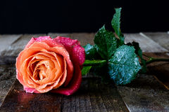 Wet rose on a wooden table. Wet rose on wooden table black background Stock Photos