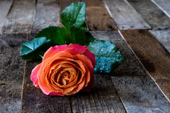 Wet rose on a wooden table. Wet rose on wooden table black background Royalty Free Stock Photos