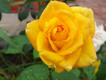 Wet rose Stock Photo