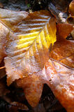 Wet rotten autumn leafs Royalty Free Stock Photo