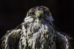 Wet and ruffled Saker falcon Royalty Free Stock Photos
