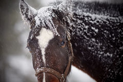 Wet sad brown horse in snow. Royalty Free Stock Photos