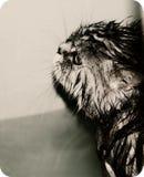Wet sad cat. To swim well, not very desirable.wet sad cat Stock Image