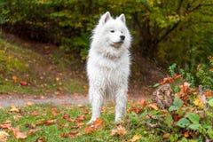 Wet Samoyed Dog on the grass. Autumn Maple Leaves in Background. Wet Samoyed Dog on the grass Stock Photo