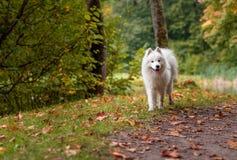 Wet Samoyed Dog on the grass. Autumn Maple Leaves in Background. Wet Samoyed Dog on the grass Royalty Free Stock Photography