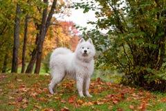 Wet Samoyed Dog on the grass. Autumn Maple Leaves in Background. Wet Samoyed Dog on the grass Stock Images