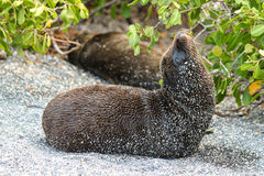 Wet and Sandy Baby Galapagos Sea Lion, Zalophus wollebaeki, Resting in Sand. Wet baby sea lion resting on sand with another sea lion and leafy branches in Stock Photography