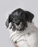 Wet schnauzer puppy with towel Stock Photos