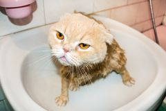 Wet Scottish Fold cat during bathing. Funny sad cream cat with f. Olded ears sits in the bathroom. Domestic Cat bath royalty free stock photo