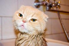 Wet Scottish Fold cat during bathing. Funny sad cream cat with f royalty free stock photos