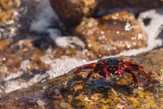 Wet sea crab on the stone on a sunny summer day.  Royalty Free Stock Photo