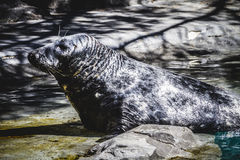 Wet, seal resting in the sun in the water. Playful, seal resting in the sun in the water, wildlife Stock Photos
