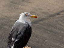 Wet Seas gull. Wet and haggard looking Sea gull Stock Photo