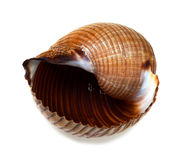 Wet seashell of very large sea snail & x28;Tonna galea or giant tun& x29;. On white background Royalty Free Stock Images