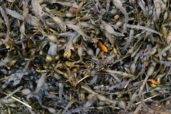 Wet seaweed. A load of wet seaweed washed up on the beach. Ideal for use as a background royalty free stock image