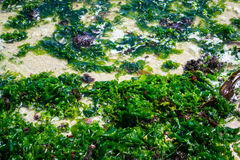 Wet seaweed. High angle view of wet seaweed Stock Photography