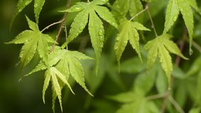 Wet several maple leaves stock footage