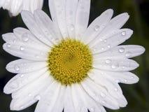 Wet Shasta Daisy Stock Photos