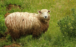 Wet Sheep. One very wet woolly sheep Royalty Free Stock Images