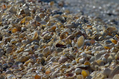Wet shells along the beach. Hundreds of wet shells line the coast line of the beach Royalty Free Stock Photo