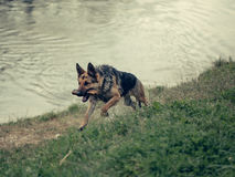 Wet shepherd run with stick Stock Photo