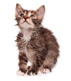 Wet kitten. Wet shorthair kitten isolated on white background royalty free stock photos