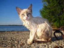 Wet Siamese kitten Stock Photos