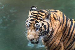 Wet siberian tiger floating in water Royalty Free Stock Photography