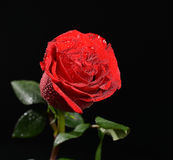 Wet single red rose with water drops Royalty Free Stock Photography
