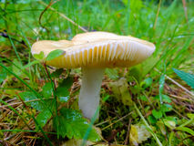 Wet and slippery mushroom growing in the forest. Royalty Free Stock Photo