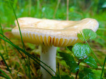 Wet and slippery mushroom. Royalty Free Stock Photography