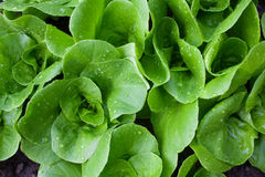 Wet small lettuce plants Royalty Free Stock Image