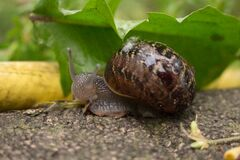 Wet Snail Royalty Free Stock Photography
