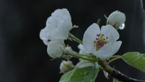 Wet Snow Falling On The Pear Tree Bloom, Close Up stock video