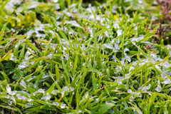 Wet snow on the green grass Stock Photos