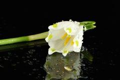 Wet Snowdrop Blossom Stock Photo