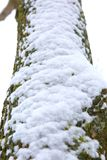 A trunk of a deciduous tree covered with fresh white snow. During wet snowfall, it often happens that white snow settles on tree trunks Stock Image