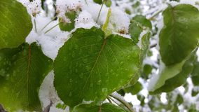 Wet Snowy Leaf Royalty Free Stock Photo