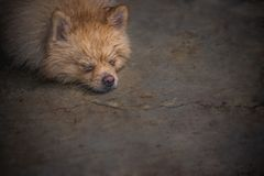 Wet and soak laying down brown pomeranian dog with the relax moo royalty free stock photo