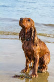 Wet spaniel cocker sitting on hind legs on a beach at sunset and Stock Photography