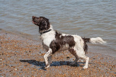 Wet Spaniel hoping for treats Royalty Free Stock Photos