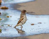 Wet sparrow Stock Image