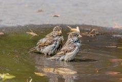 Wet sparrow Stock Photos